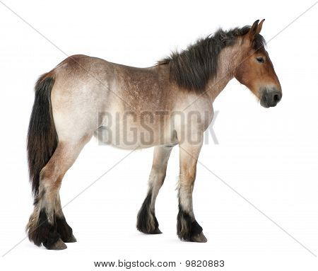 Belgian Heavy Horse Foal, Brabancon, A Draft Horse Breed, 13 Months Old, Standing In Front Of White