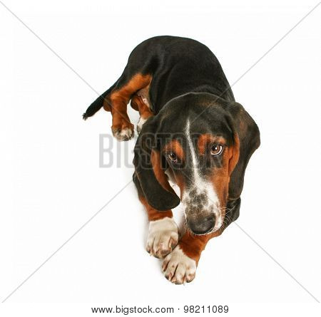 a basset hound sitting down on an isolated white background