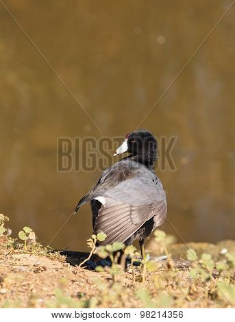 American Coot Duck