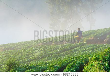 Chiang Mai, Thailand-december 11 : Worker Harvesting  Strawberry In Strawberry Field On December 11,