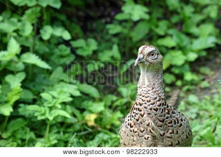 Pheasant looking alert