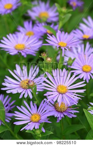 Aster Kalimeris incisa 'Blue Star'