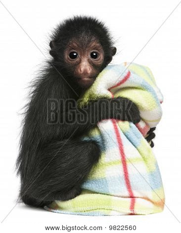 Red-faced Spider Monkey, Ateles Paniscus, 3 Months Old, Holding Blanket In Front Of White Background