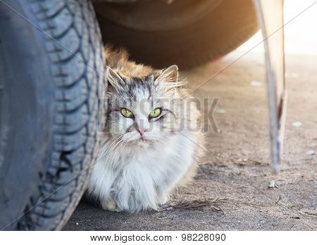 Homeless Longhair Gray Cat Is Sitting Under Car