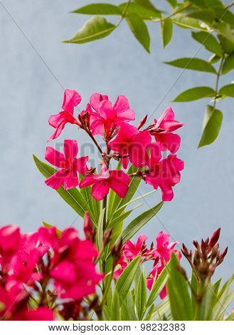 Pink Blooming Oleander Against Blue House Front