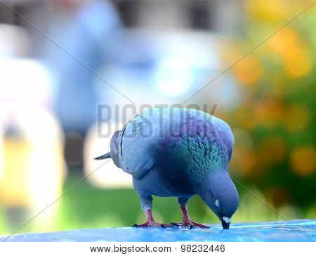 Pigeon Bird Drinking Water.close Up Picture