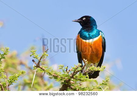 Superb Starling Bird, Lamprotornis superbus.