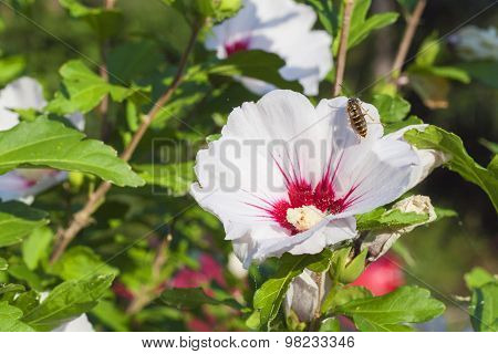 Hibiscus flower bushes in the light of the morning sun, blurred background.