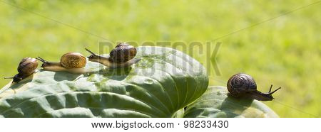 Four garden snails are crawling on a green leaf Hosta fortunei Marginato-alba, three in one directio