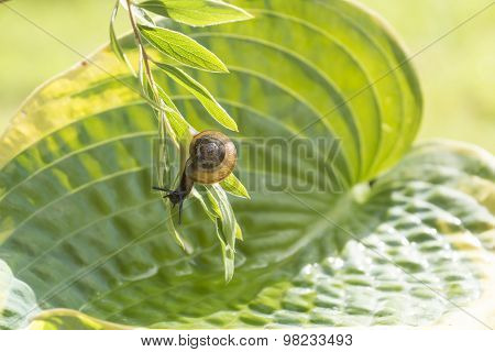 Garden snail crawling upside down on a branch hanging over leaf Hosta with water