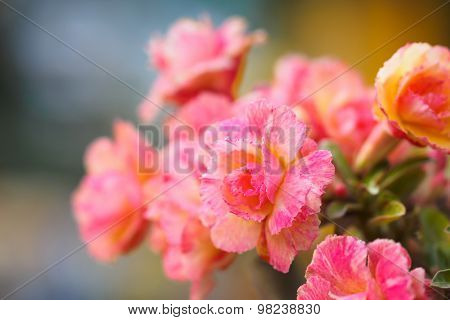 Closeup Of  Pink Rose Color Plumeria Flower With Dof Background