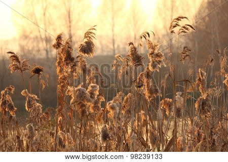 Bright natural background with a reed