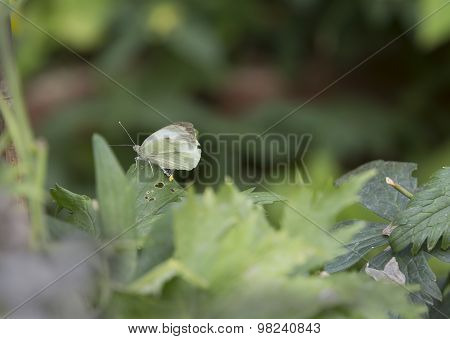 Butterfly with eggs