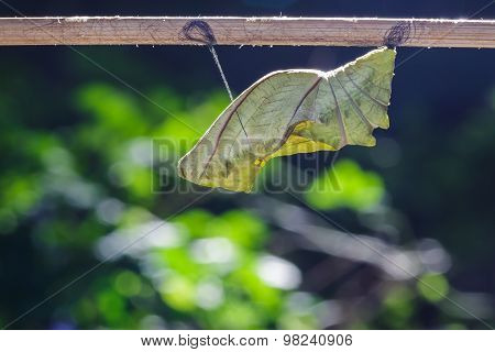 Cocoon Of Common Birdwing Butterfly