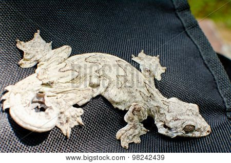 Reptile Is Flying Gecko
