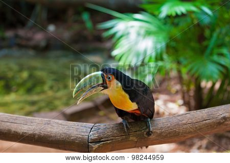 Large bird with bright plumage and a huge beak. Toucan in the South American zoo of exotic tropical birds