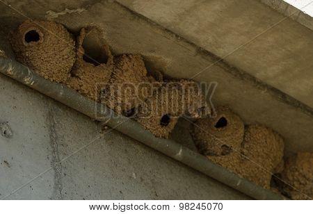 Tree swallow mud nests