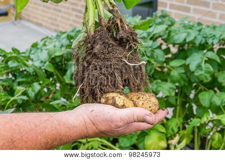 Hand Holding Homegrown Potatoes