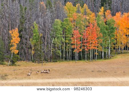 Rutting Elk Herd in Fall Landscape