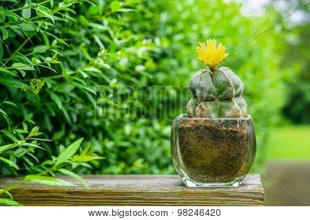 Astrophytum Myriostigma Cactus With A Yellow Flower