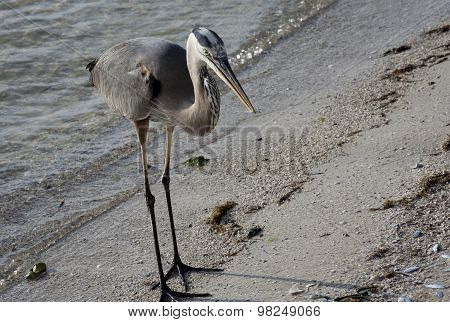 Great blue heron on a background of nature. Usa