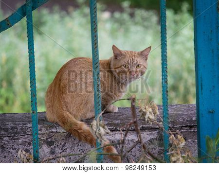Experienced Stray Red Cat Behind Bars Fence