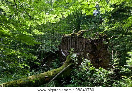 Wind Fall Over Huge Spruce Tree In Summer
