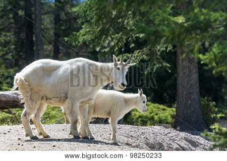 Two Mountain Goats At Jasper National Park