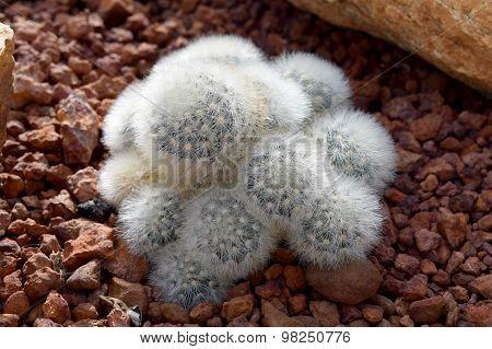 Arid plants - CACTACEAE , Mammillaria plumosa