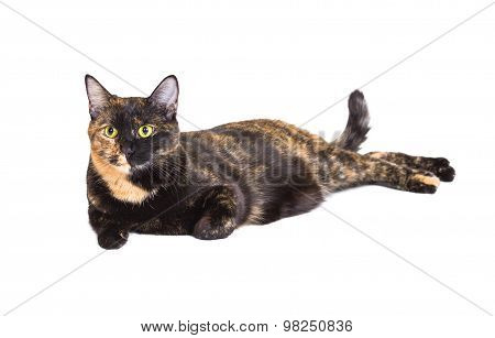 Mixed Breed Cat Tortoiseshell Color