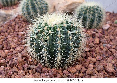Arid plants - CACTACEAE , Echinocactus grusonnii Hildm