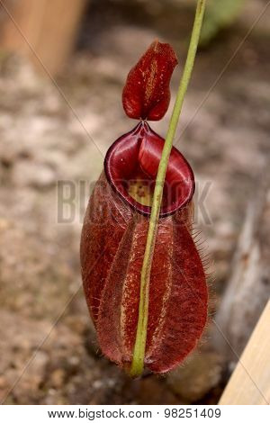 Carnivorous plants - Beautiful Close up red N. sumatrana