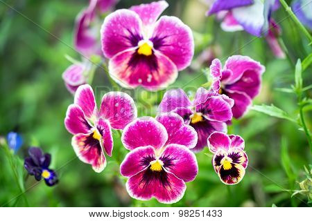 Viola Tricolor, Known As Heartsease, Heart's Ease, Heart's Delight