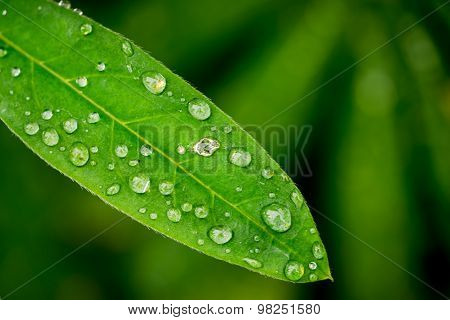 Lupine Leafs Rain Drops Background