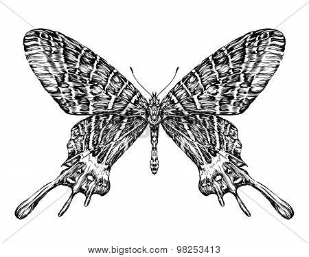 Detailed realistic sketch of a butterfly / moth