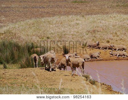 Australian sheep at a pond