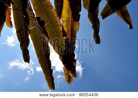 Brown Banana leaf backlit sunlight and sky