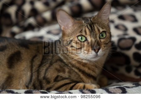 Portrait Of A Cat Bengal