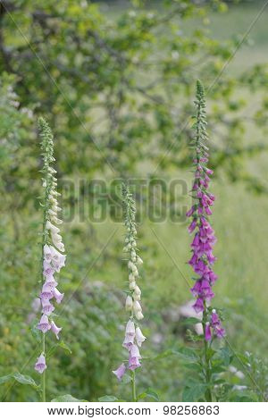 Three Foxglove Plants