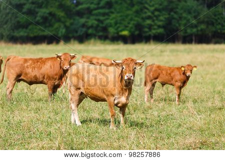 Limousin Cattle On The Field
