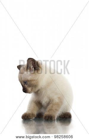 siamese kitten isolate on white