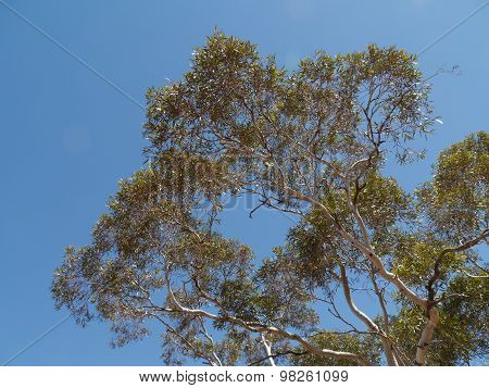 The Australian River Red Gum tree