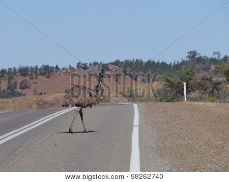 Emu on the road in a rural landscape