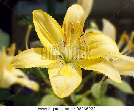 Beautiful Lily Yellow Flower