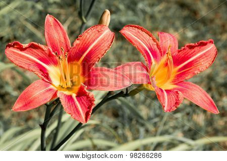 Two Flowers Of Red Lilys.
