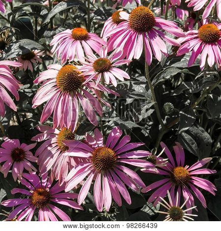 Violet Camomile Flowers.