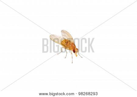 Beige Fly On A White Background