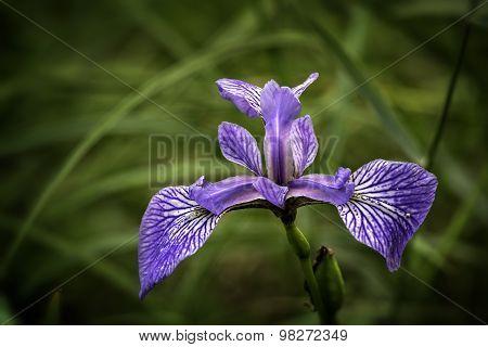 Wild Iris (Iris Germnica)