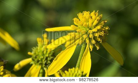 Common Wingstem Bloom Close-up. Yellow Bloom.