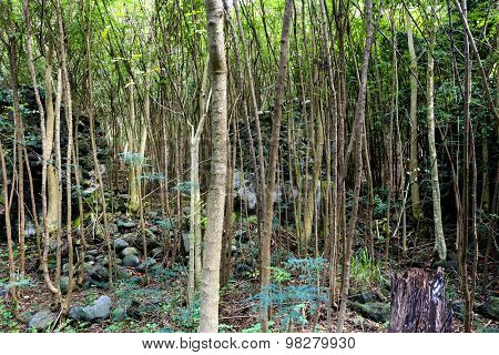 A thick rainforest made up of thin trees shows the dense foliage of an untouched natural environment.